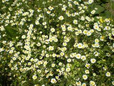Corn or field chamomile. Falsa-camomila ou margação. Anthemis arvensis