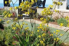 Dymondia is a tough, versatile, low-water lawn substitute from South Africa.