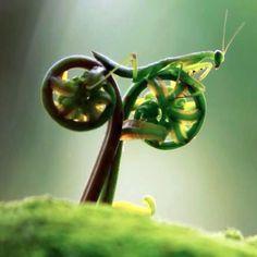 fiddleheads!  Looks like a grasshopper riding a bike!