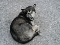 Siberian husky as wolfdog breeds in the world