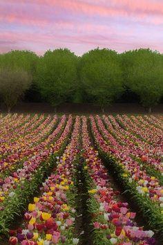 tulpenveld (NL)