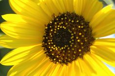 Sunflower blossoming at Safe Haven Farm, Haven, KS