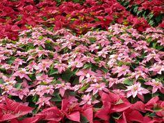 El Blog de La Tabla: Euphorbia pulcherrima: desde México con color