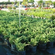 Iris African White Delray Garden Center | Zone 10 Plants | Pinterest |  Iris, Grasses And Gardens