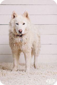 7/15/17 Portland, OR - Samoyed/Siberian Husky Mix. Meet Anouk, a dog for adoption. http://www.adoptapet.com/pet/18633240-portland-oregon-samoyed-mix