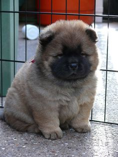 I always had Chow Chow's as a kid. I remember having a black one & a  brown/red one. They are such beautiful dogs.