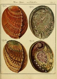10 Bd. (1787-1788) - Neues systematisches Conchylien-Cabinet / - Biodiversity Heritage Library