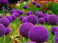 Alium bulbs, my favorite clean looking front yard flower
