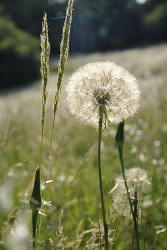 Dandelions always remind me of being a kid