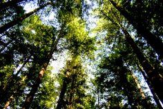 Sonoma redwood trees