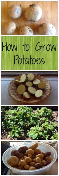 How to Grow Potatoes ~ Homegrown spuds are the best! www.growforagecookferment.com
