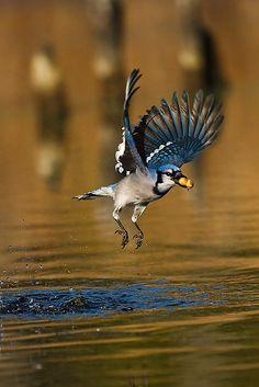 "Blue Jay with his type of ""catch"" Pretty Birds, Love Birds, Beautiful Birds, Cyanocitta Cristata, Blue Jay Bird, Bird People, Audubon Birds, Different Birds, Crazy Bird"