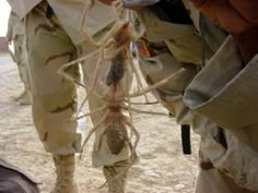 Behold, the Camel Spider - found in Iraq & Afghanistan (and the American southwest!), these things have a body 8 inches long, can run 10mph, are hyperaggressive and SCREAM in the night.