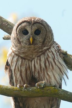 Cutest owl ever. @ Starved Rock State Park, Utica, IL......Hiking there next weekend....really hope I see this guy!!!!