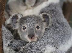 Koala - Featherdale Wildlife Park