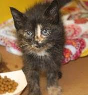 ADOPTED>Intake:  10/24 Available:   10/30 NAME:  Susie ANIMAL ID:  33813107 BREED: DSH SEX:  Female EST. AGE: 5 weeks Est Weight: 1 lb Health:   Temperament: Friendly ADDITIONAL INFO:   RESCUE PULL FEE:  $35