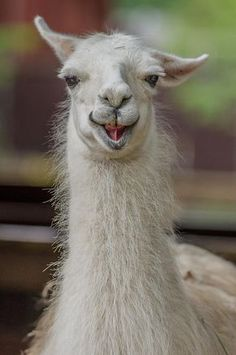 Have you ever wondered how alpaca run? If you have then you will love this post covering how alpaca run and even how alpaca pronk. Smiling Animals, Happy Animals, Animals And Pets, Funny Animals, Cute Animals, Alpaca Funny, Cute Alpaca, Funny Llama, Alpacas