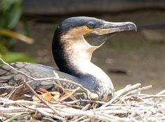 White-breasted Cormorant Phalacrocorax lucidus - Google Search