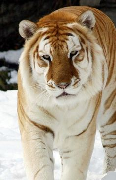A Liger ( Lion And Tiger crossbreed ) My new fave big cat!