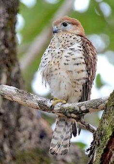 El cernícalo de la Mauricio (Falco punctatus) es una especie de ave falconiforme de la familia Falconidae endémica de la isla de Mauricio. Probablemente llegó a Mauricio donde evolucionó en especie distinta durante el Gelasiense (Plioceno Tardío ). Es la especie más diferenciada entre las especies vivientes de cernícalos del Océano Índico. No se conocen subespecies.