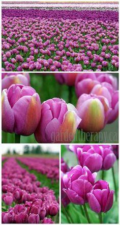 Tulip Festival photos pinks and purples #garden #tour