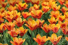 """Képtalálat a következőre: """"Tulipa kaufmanniana"""""""