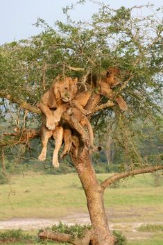 Hangin out. Lions