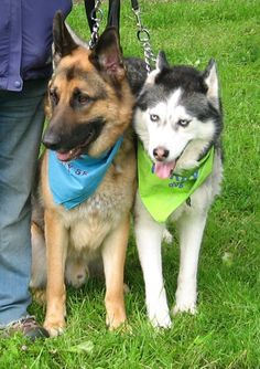 Beautiful buddies - German Shepherd and Siberian Husky adorned in their blue and green bandanas.