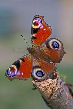 Peacock (Inachis io)