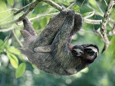 animais estranhos do Brasil: preguiça                                                                                                                                                                                 Mais
