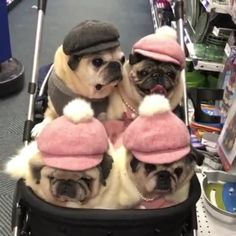 for more daily pug video clips ( .