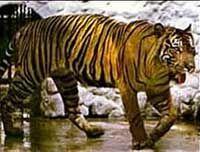 Яванский тигр - Panthera tigris sondaica - истреблен в 1972 году. Обитал на острове Ява. Масса самки составляла 75-115 кг, самца - 100-141 кг.