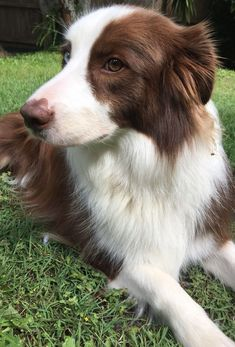 I Need A Red Border Collie It Is A Necessity Collie Puppies
