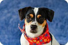 Vancouver, BC - Rat Terrier Mix. Meet Buster, a dog for adoption. http://www.adoptapet.com/pet/17434376-vancouver-british-columbia-rat-terrier-mix