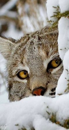 Wildtiere Peeking Bobcat The upside of kegging is that it does reduce m I Love Cats, Big Cats, Crazy Cats, Cool Cats, Cats And Kittens, Ragdoll Cats, Nature Animals, Animals And Pets, Funny Animals