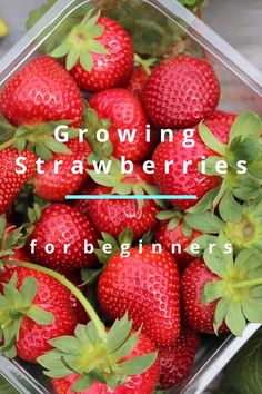 How To Grow Strawberries How To Grow Strawberries,Gardening Everybody loves strawberries…and growing them is easy even if you are a beginner! Learn everything you need to know here about growing strawberries in your garden. Strawberry Garden, Strawberry Plants, Strawberry Patch, Permaculture Design, Container Gardening Vegetables, Container Plants, Vegetable Gardening, Diy Garden, Edible Garden