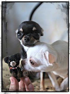 Oh so precious angel baby Chihuahua ! Chihuahua Puppies, Cute Puppies, Cute Dogs, Dogs And Puppies, Doggies, Cute Baby Animals, Funny Animals, Baby Dogs, Little Dogs