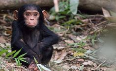 Chimpanzees have been found to have BETTER short-term memory than humans! Check out the 7 other smart species from @Care2 .com