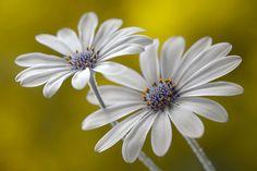 Stunning!! Cape daisies