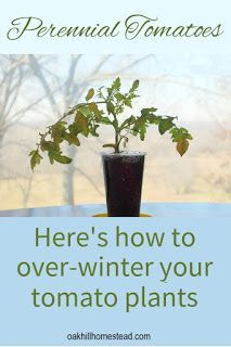 How To Over Winter Your Tomato Plants With Images Tomato Plants Tomato Garden Growing Tomatoes In Containers