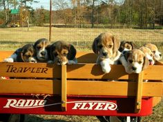 Beagle siblings like to travel by wagon because everyone gets to stick his head out the window at the same time!