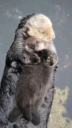 Cute Baby Animals, Animals And Pets, Funny Animals, Nature Animals, Cute Puppies, Dogs And Puppies, Baby Sea Otters, Otter Pup, Otters Cute