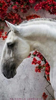 The Lusitano, also known as the Pure Blood Lusitano or PSL (Puro Sangue Lusitano), is a Portuguese horse breed, closely related to the Spanish Andalusian horse. Horses were known to be present on the Iberian Peninsula as far back as 20,000 BC, and by 800 BC the region was renowned for its war horses #lusitanoworld