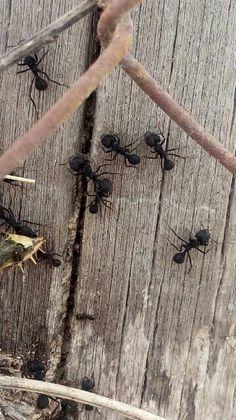 Hormigas cortadoras de la estepa patagónica