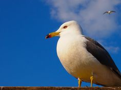 Black-tailed gull(Larus crassirostris)ウミネコ