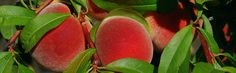 U-pick farm specializing in apples, peaches and pears in Washington County. Now featuring an event venue. Hillsboro Oregon, Bartlett Pears, Event Venues, Peaches, Farms, Apples, Lily, Gardens, Autumn