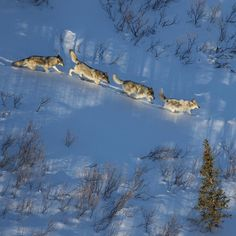 Photo by @argonautphoto (Aaron Huey). The #NenanaRiver #wolfpack crossing through an area with several trap lines just outside the borders of #DenaliNationalPark Alaska. There are no buffer zones around the Park and trapping or shooting wolves is a fairly common practice in Alaska. Shot on assignment as part of our National Parks series! Watch for this story in early 2016! More #wolf photos at @argonautphoto! by Zurvita Zeal Wellness