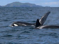 sealife around Iona. (Das Geheimnis der schottischen Insel)