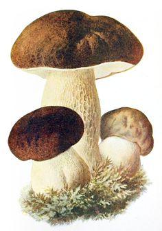 Boletus edulis var. bulbosus.  Albin Schmalfuss, from Führer für Pilzfreunde (The mushroom lover's guidebook) vol. 1, by Edmund Michae...