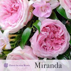 David Austin roses MIRANDA...